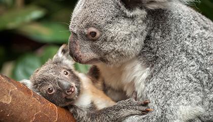Koala's in de zoo van Antwerpen