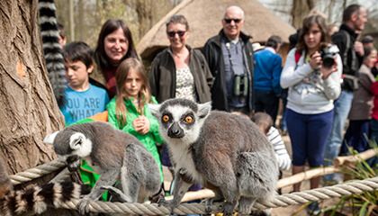 ringstaartmaki in de zoo van Planckendael