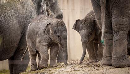 Olifanten in de zoo van Planckendael