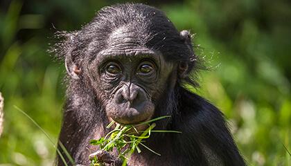 Bonobo in de zoo van Planckendael