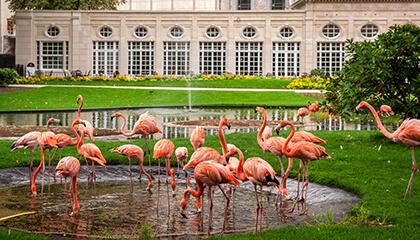 Flamingo's in de zoo van Antwerpen