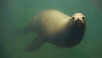 Zwemmende zeehond onder water