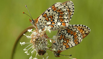 Veldparelmoervlinder (Vlinderkoepel - Lieteberg)