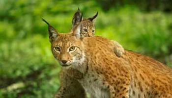 Lynx mama met welpje