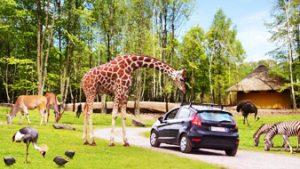 Giraf in park bij auto