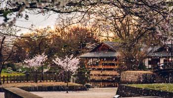 japanse boom met roze bloemen
