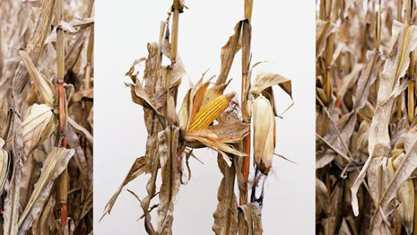 gengemanipuleerde maiskolven