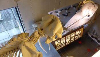 skelet in MuseOs