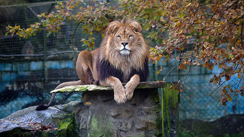 pakawi park afrikaanse leeuw