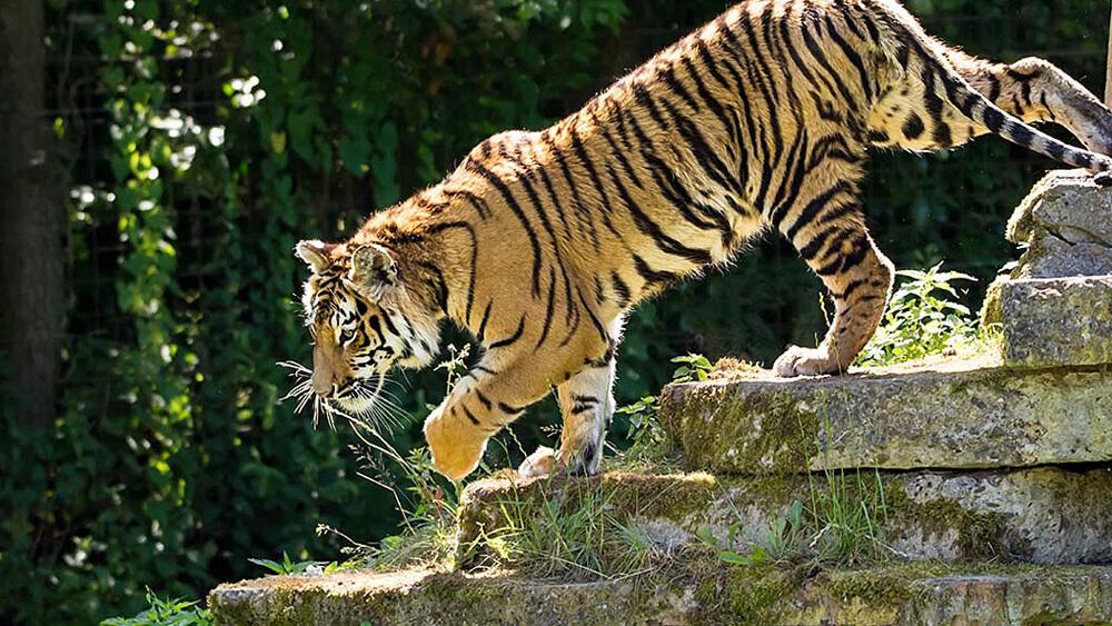 pakawi park tijger